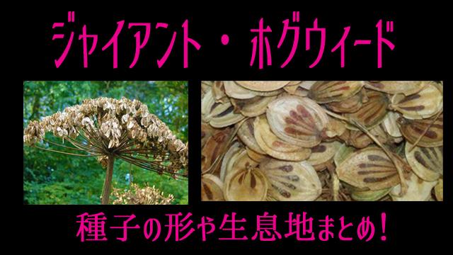 ジャイアントホグウィード種子